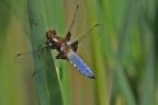 libellules 1